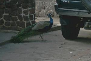 pavão se admirando