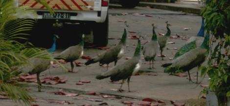 um exército de pavões