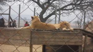 leões na cerca