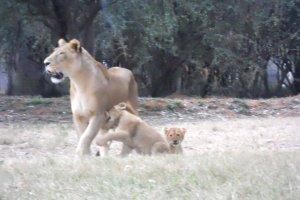 Leões brincando