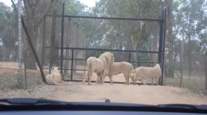 Leões ficam no portão e impedem carro de sair