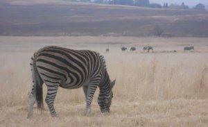 Zebras e avestruzes no Lion Park