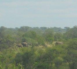 Manada de elefantes avistada no meio da densa vegetação em abril