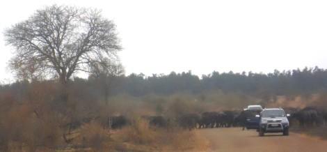 Manada de búfalos atravessa estrada entre os carros