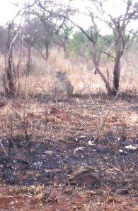 Leopardo - ou chita, vejam comentário do Nando neste post - camuflado no meio da mata seca