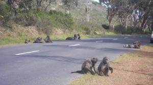 Babuínos na estrada para Cape Point