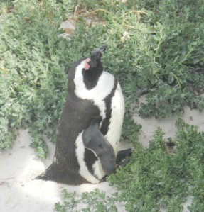 Pingüim na África do Sul